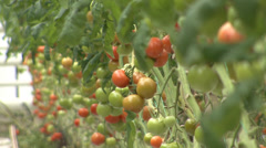 Gardening of tomatoes in greenhouse Stock Footage