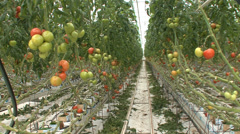 Soilless tomato cultivation hydroponics Stock Footage