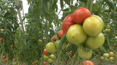 Cluster of tomatoes in greenhouse Stock Footage