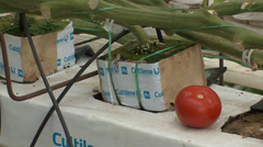 Greenhouse tomatoes in hydroponic grow boxes Stock Footage