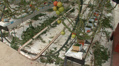 Hydroponic gardening system tomatoes in greenhouse Stock Footage