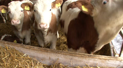 Fattening calves in a confined space - stock footage