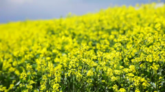 oilseed rape (canola) flowers on the field  - stock footage