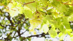 White Grape hand picking - closeup Stock Footage