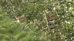 Stock Video Footage of Wooden crate with apples in the orchard row