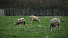 Few Sheeps on pasture at late afternoon Stock Footage
