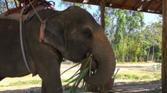Tame Elephant eating bamboo - 9 - stock footage