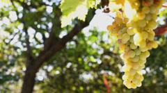 White Grape picking - close up Stock Footage
