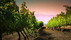 Wine grapes winery vineyard valley at summer sunset. Agriculture farm landscape - stock footage