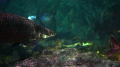 Aquarium - Amazon river fish passing next to camera Stock Footage