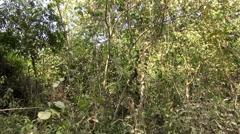 Dusky Leaf Monkeys (Gray langur) -  4/4 Stock Footage