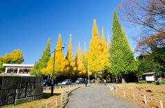Ginkgo tree avenue heading down to the meiji memorial picture gallery Stock Photos