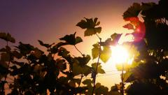 Wine grapes leaves silhouettes against hot summer sun at sunset on vineyard HD Stock Footage