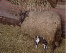Drenthe heath sheep nursing lamb in sheepfold Stock Footage