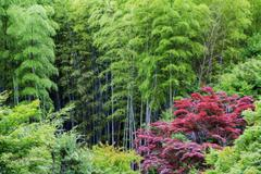 Oil painting stylized green bamboo and red acer Stock Photos