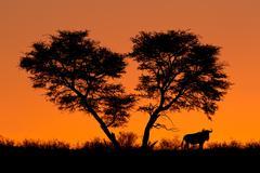 Tree and wildebeest silhouette Stock Photos