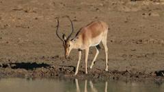 Impala antelope drinking Stock Footage