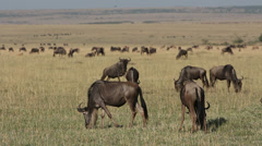 Playful wildebeest on grassland, Masai Mara National Reserve, Kenya Stock Footage