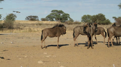 Wildebeest and flying doves Stock Footage