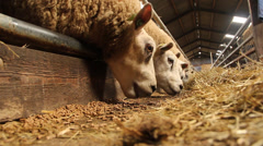 Sheep eating hay in a sheepfold Stock Footage