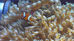 Clown fish in sea anemone Stock Footage