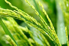 Paddy rice Stock Photos