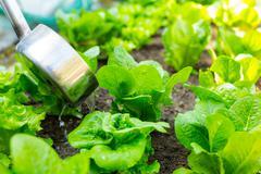 Fertilization of lettuce Stock Photos