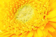 Yellow daisy close up Stock Photos
