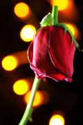 wilted red rose - stock photo
