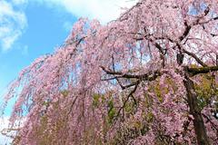 Sakura tree in japan Stock Photos