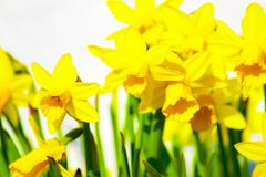 easter daffodil blooming in the spring sunshine - stock photo