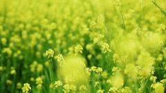 oilseed rape (canola) flowers on the field  - stock footage