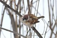 Stock Photo of sparrow