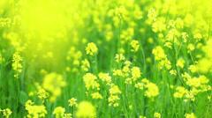 Rapeseed flowers waving on wind - closeup Stock Footage