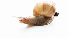 Giant Snail Achatina on white background - stock footage