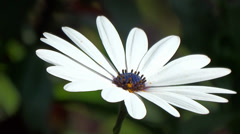 Blue Eyed Daisy in Full Bloom Stock Footage