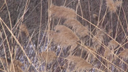 Stock Video Footage of Tall golden grass swaying in the wind.