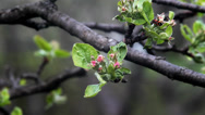 Stock Video Footage of Apple tree buds in spring.