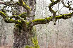 mighty oak tree - stock photo