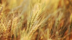 Wheat field - stalks waving on light wind - closeup Stock Footage