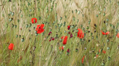 Poppies and cornflowers - stock footage