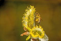 willow blossom with bee - stock photo