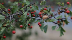 Red briar with green leaves on the wind - stock footage