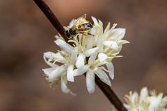 bee in white flower - stock photo