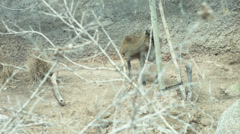 Zimbabwe klipspringer eating hey Stock Footage