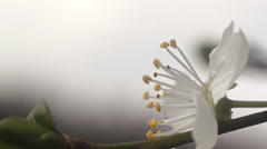 White flowers on tree in the spring Stock Footage