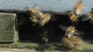 Stock Video Footage of Honey Bees returning to the hive with pollen sacks
