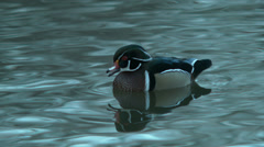 Stock Video Footage of wood duck chirping