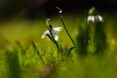 Snowdrop flower in blossom Stock Photos