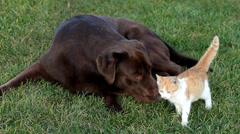 Little orange cat with a brown labrador Stock Footage